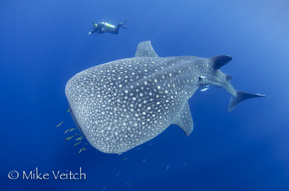 Whale Shark by Mike Veitch, Lighthouse Consultancy Indonesia