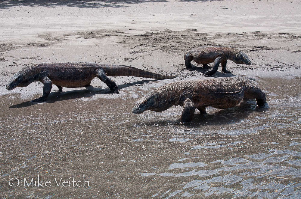 Komodo Dragons, by Mike Veitch, Lighthouse Consultancy
