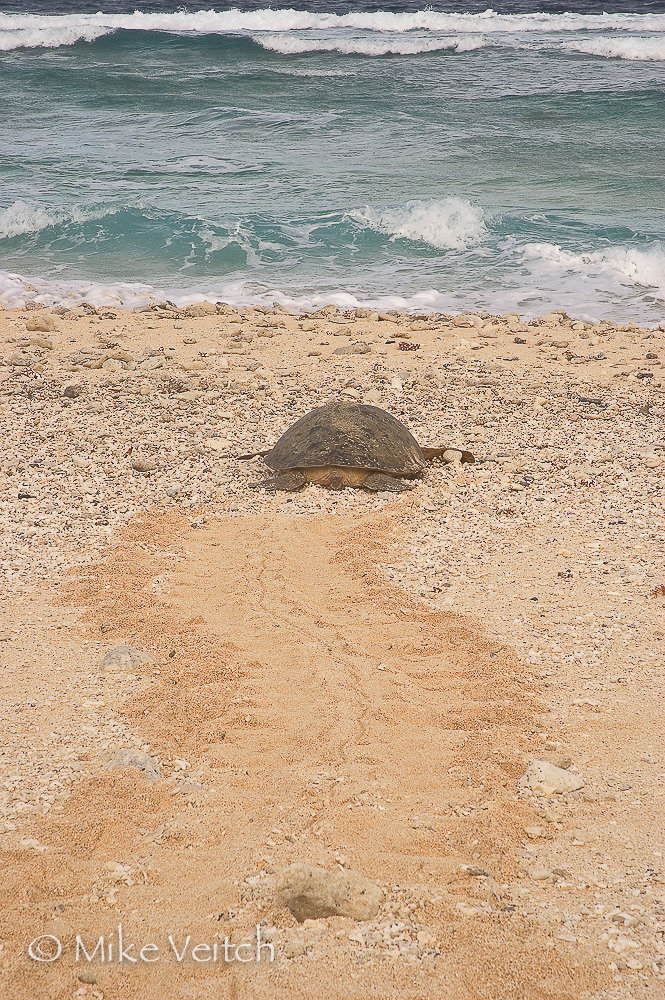 Nesting Turtle, photo by Mike Veitch