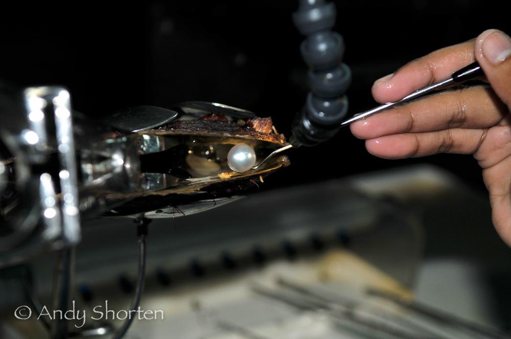 Technician harvesting a Pinctada Maxima pearl oyster