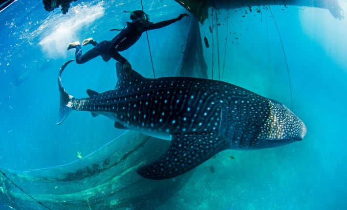 Indonesia-Whale-Shark-Conservation-Superyachts-710