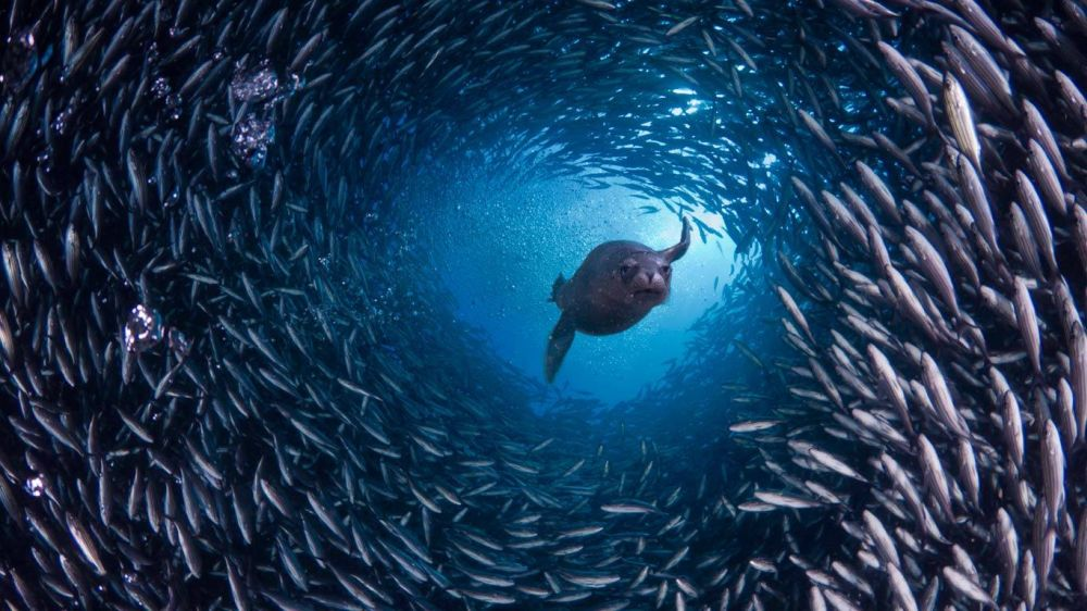 Seal diving through fish school in Galapagos Islands