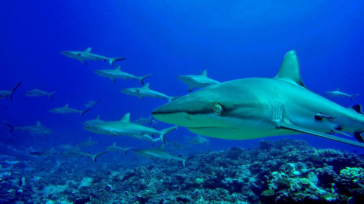Sharks in Tahiti can be experience via superyacht.