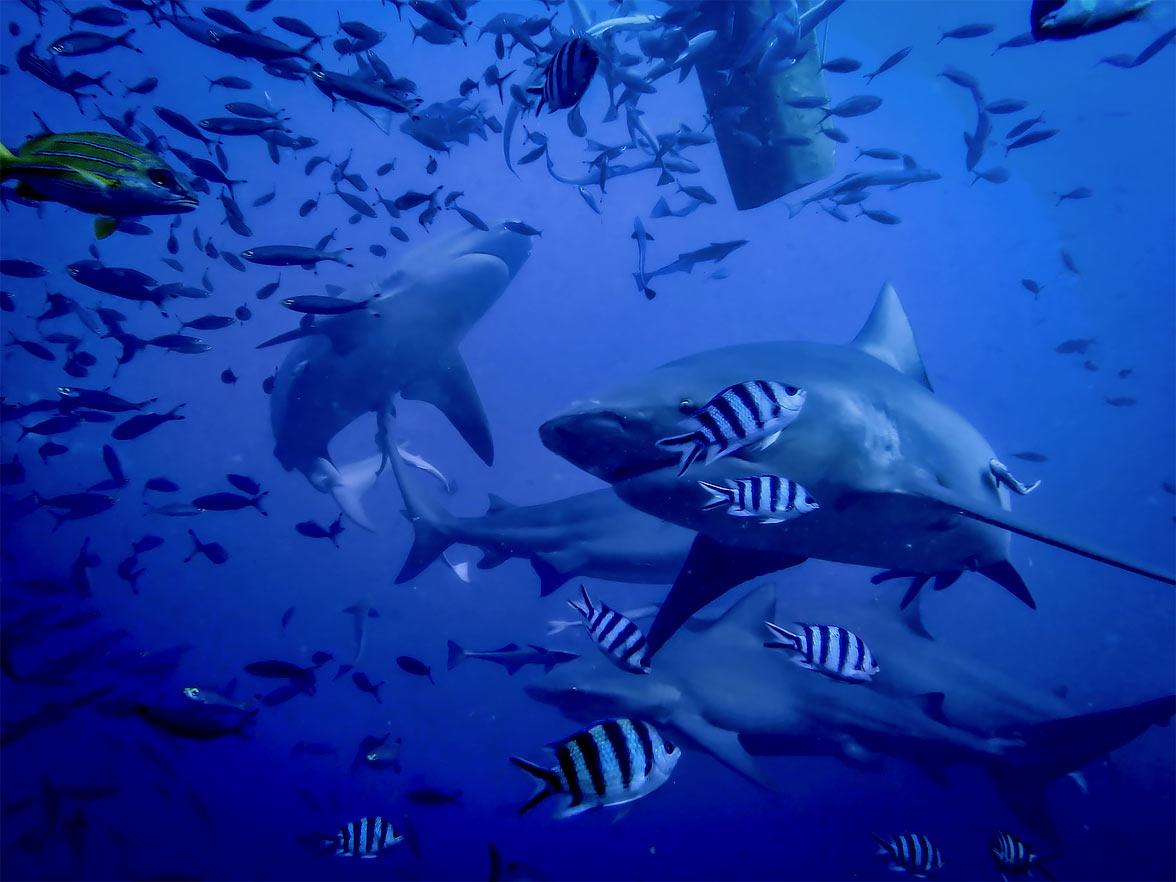 Shark diving, Fiji via Seal Superyachts.