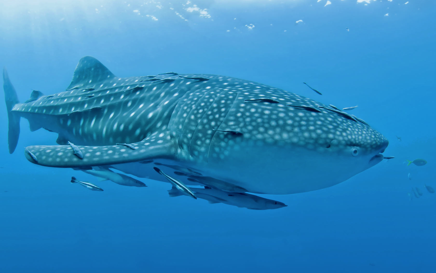 Triton Bay Whale Shark, via Seal Superyachts Indonesia.