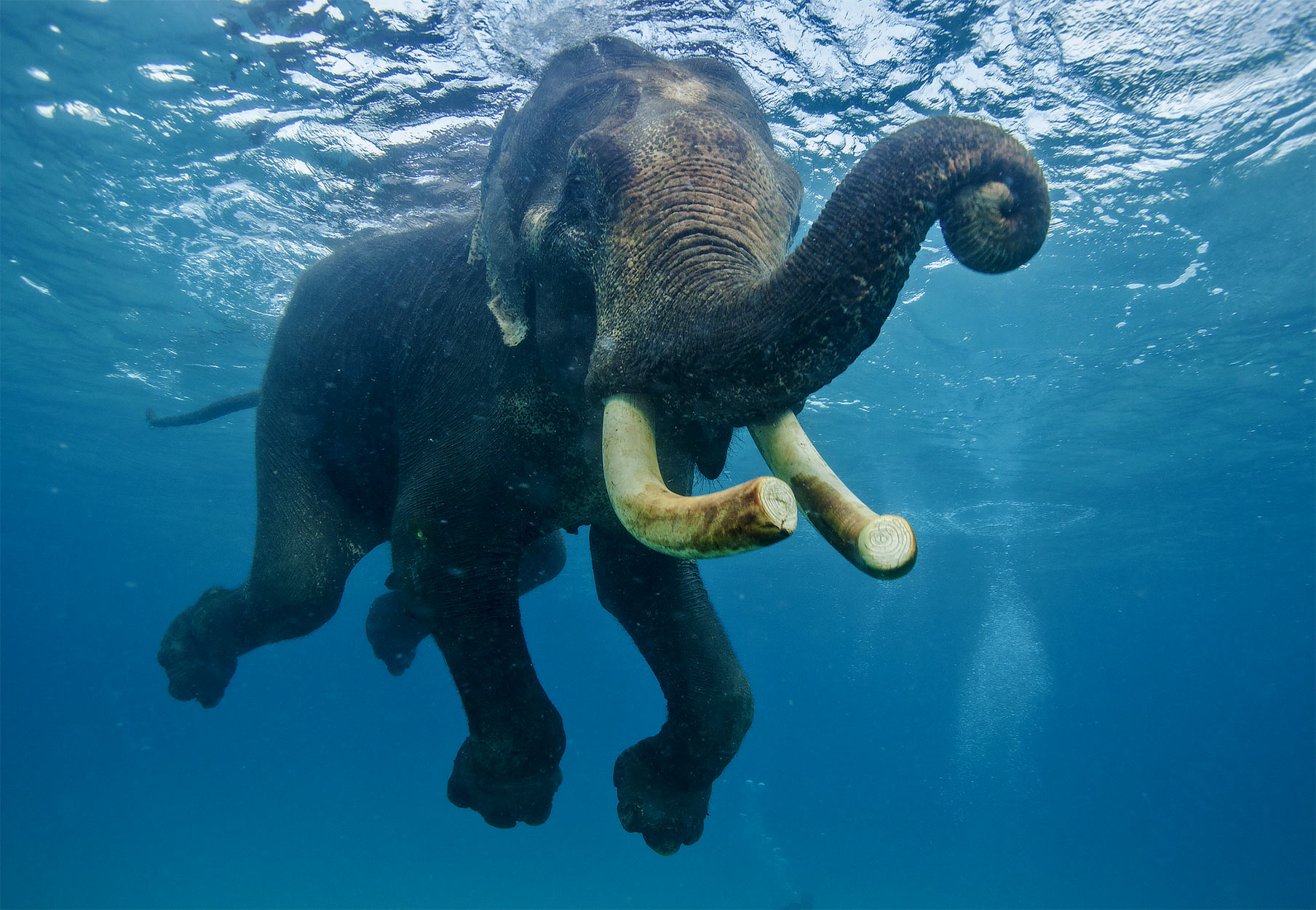 Swimming Elephants via Seal Superyachts India