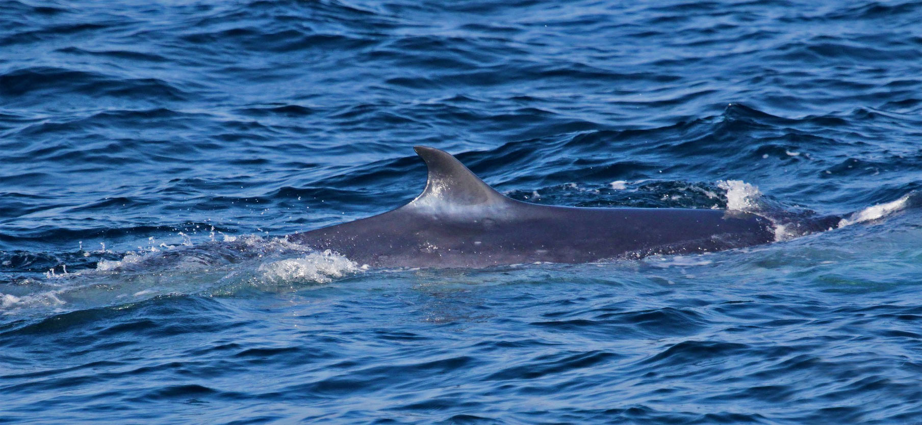 Omura's whale (Balaenoptera omurai)
