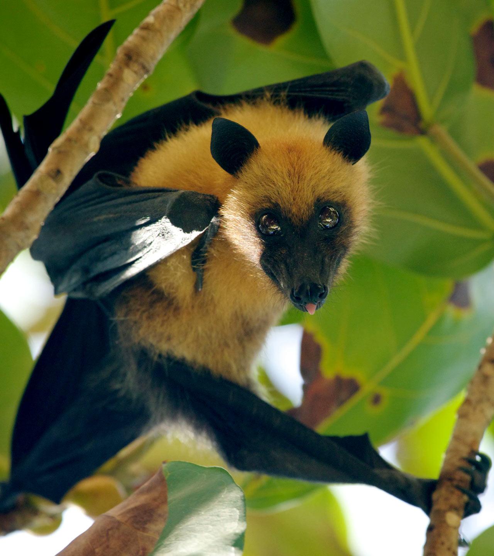 Fruit bat in Seychelles
